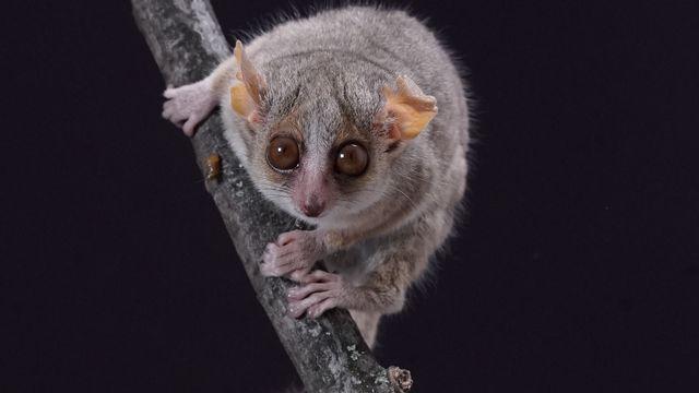 Le microcèbe mignon, la plus petite espèce de primates, possède une excellente vision. Img avec CP Unige Daniel Huber Unige [Daniel Huber - Unige]