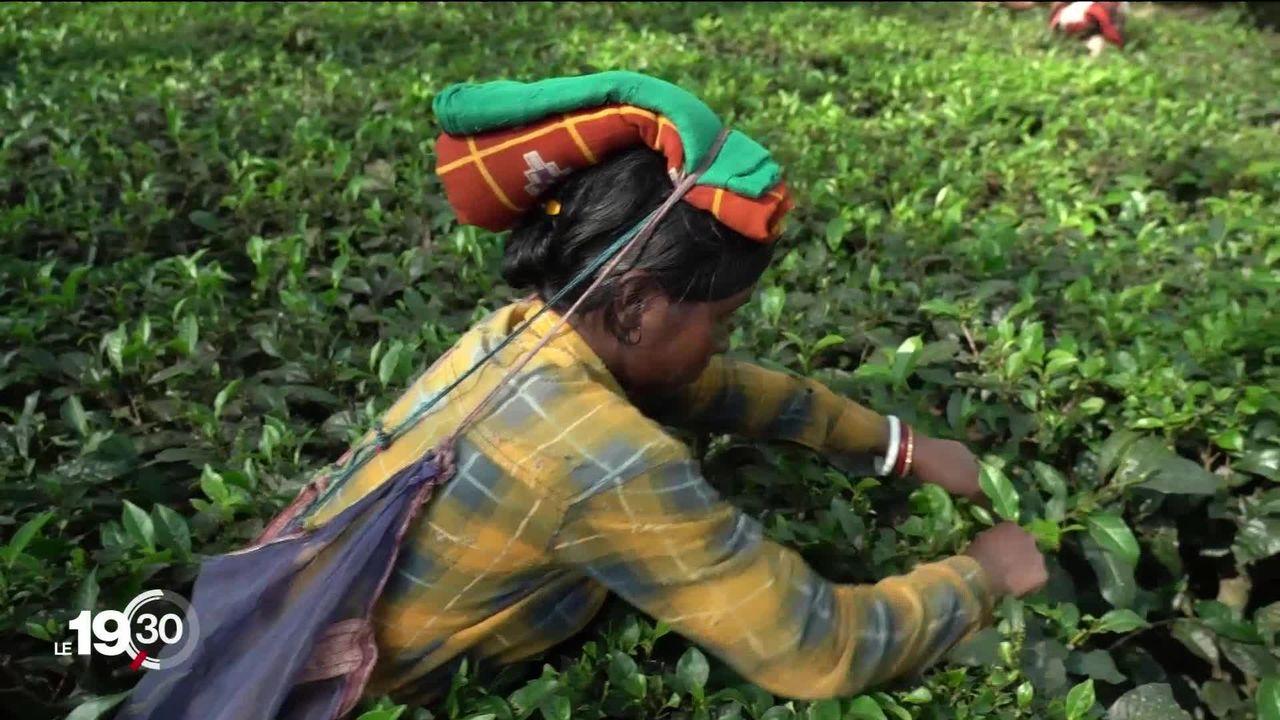 Le thé noir d'Assam est récolté par des cueilleurs qui dénoncent des conditions de travail insupportables [RTS]