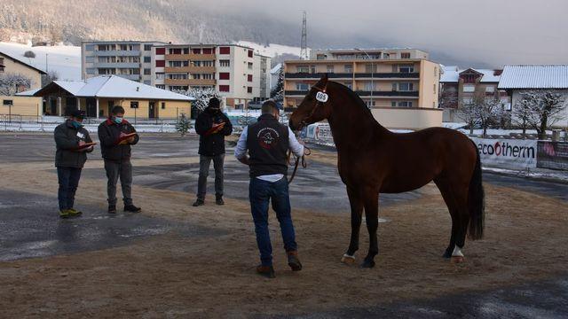 La sélection nationale des chevaux des Franches-Montagnes se déroule sans public. [Gaël Klein - RTS]