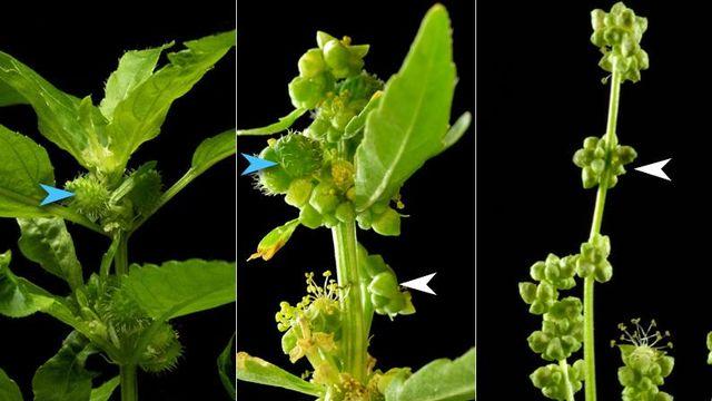 Habituellement, chez la mercuriale annuelle, les plantes sont soit des femelles (photo de gauche, les flèches bleues indiquent les fruits, éléments femelles), soit des mâles (photo de droite, les flèches blanches indiquent les fleurs mâles). Au cours de l'expérience, des plantes femelles hermaphrodites sont apparues (photo centrale). Elles produisent des fleurs mâles et quelques fruits. IMG avec CP Unil Guillaume Cossard & Xinji Li DEE/Unil [Guillaume Cossard & Xinji Li - DEE/Unil]