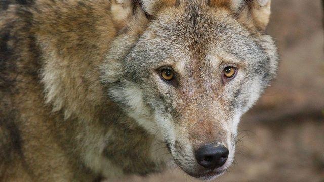 Un loup a été observé sur le territoire genevois pour la première fois depuis 150 ans (image d'illustration). [Steffen Schmidt - Keystone]