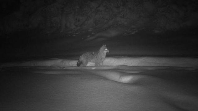 Le chacal doré a été observé dans la nuit du 4 au 5 janvier 2021 près du Marchairuz. [Kora]