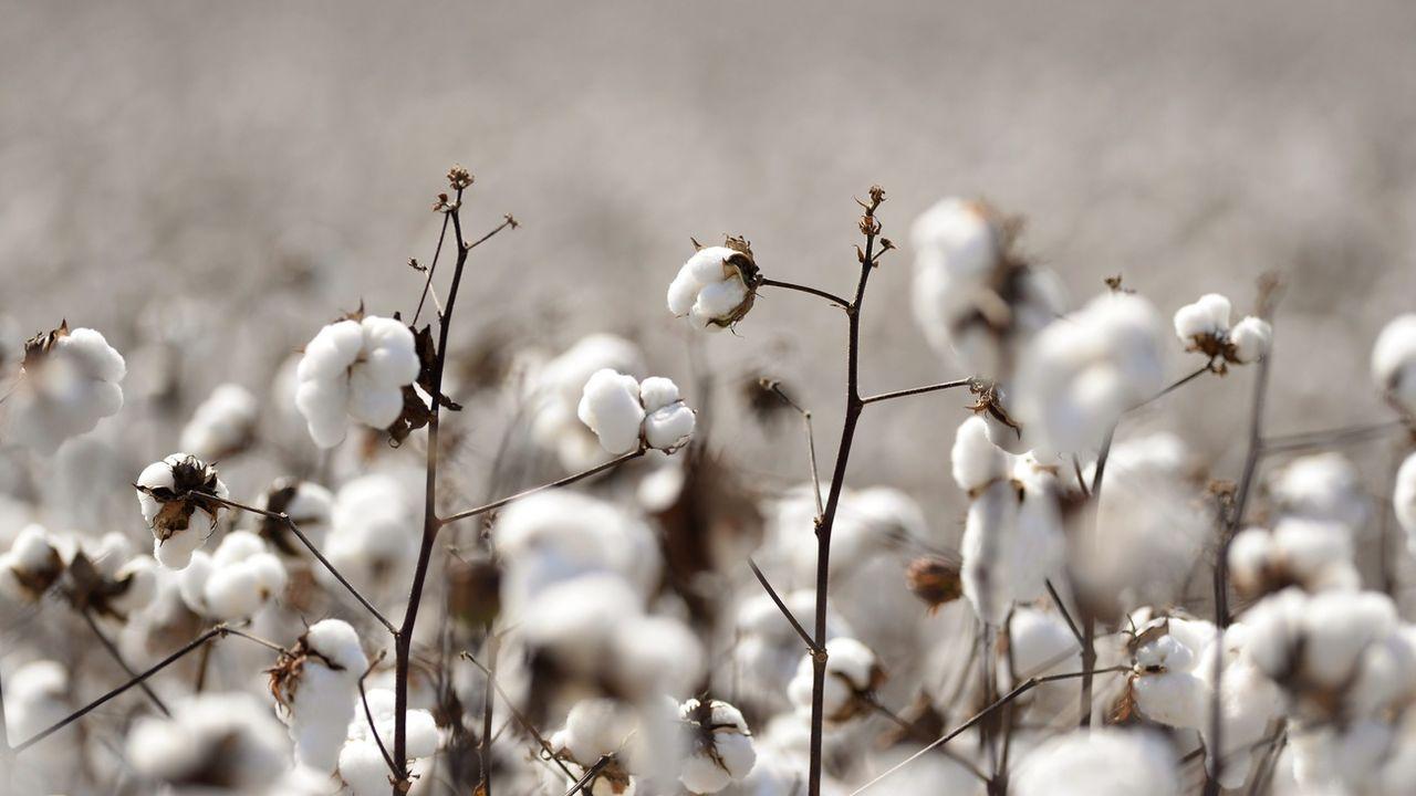 Des plants de coton. [Erik S. Lesser - Keystone/EPA]
