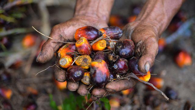 L'huile de palme est tirée des fruits du palmier à huile, particulièrement riches en graisse végétale. [Chaideer Mahyuddin - AFP]