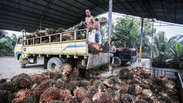 Commerce des palmiers à huile, pierre d'achoppement de la votation sur l'accord de libre-échange avec l'Indonésie. [Dedi Sinuhaj - KEYSTONE]