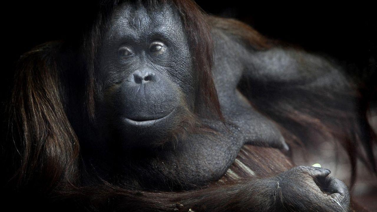 Un orang-outan de Bornéo au Parc Zoologique de Paris. [Manuel Cohen - AFP]