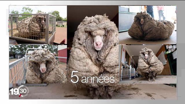 Un mouton surnommé Baarack a été retrouvé en Australie avec 35 kilos de laine sur le dos. [RTS]