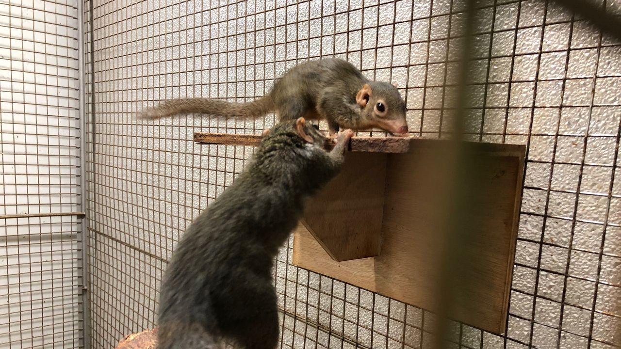 Deux tupaias dans l'animalerie de l'Université de Fribourg. Ces animaux servent à des expérimentations sur le système visuel. [Muriel Ballaman - RTS]