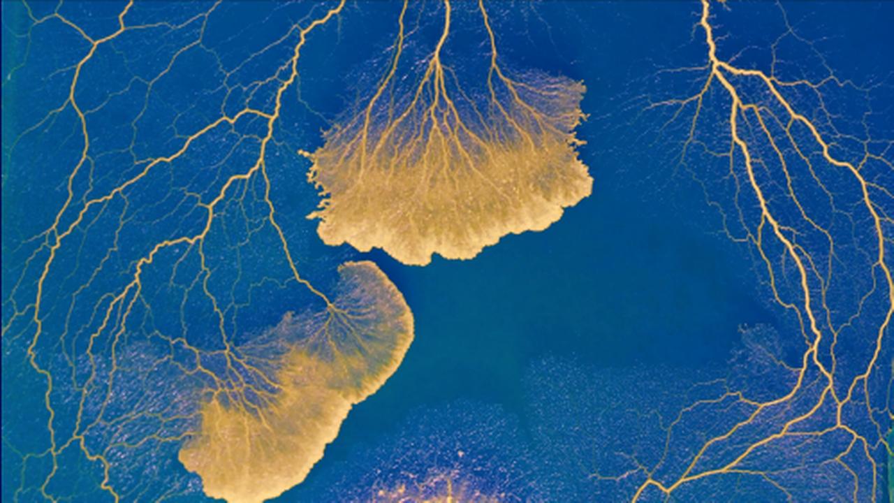 """Un Physarum polycephalum, communément appelé """"blob"""", est un organisme unicellulaire dépourvu de système nerveux. [Audrey Dussutour - CNRS]"""