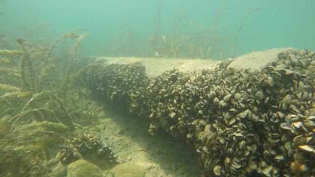 La moule quagga, qui prolifère dans les eaux du lac Léman, se révèle être un casse-tête pour les services des eaux et opérateurs de centrales thermiques. [Linda Haltiner - LéXPLORE]