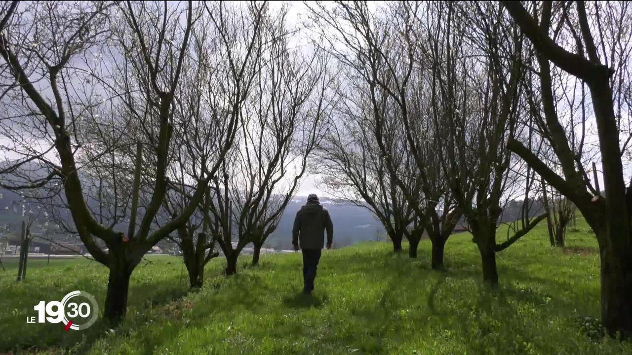 La vague de froid a touché les arbres fruitiers. Certaines récoltes sont perdues. [RTS]