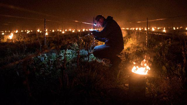 Le gel qui a couvert une large partie de la France la semaine dernière s'annonce comme l'un des pires des dernières décennies, de nombreuses cultures, vignes et vergers en particulier, ayant été frappées du nord au sud du pays. [SEBASTIEN SALOM-GOMIS  - AFP]