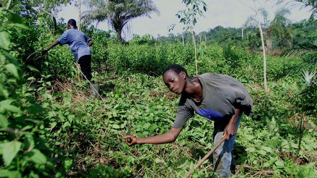 Les géants du chocolat sont attaqués à cause du travail des enfants dans les plantations. [Christine Nesbitt - AP]