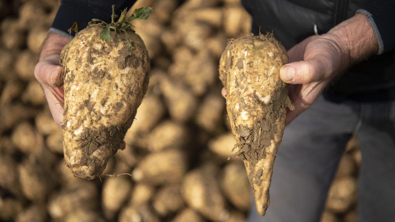 Des betteraves sucrières du domaine agricole de Georges Allaz à Villars-le-Terroir, dans le Gros-de-Vaud. [Laurent Gillieron - KEYSTONE]