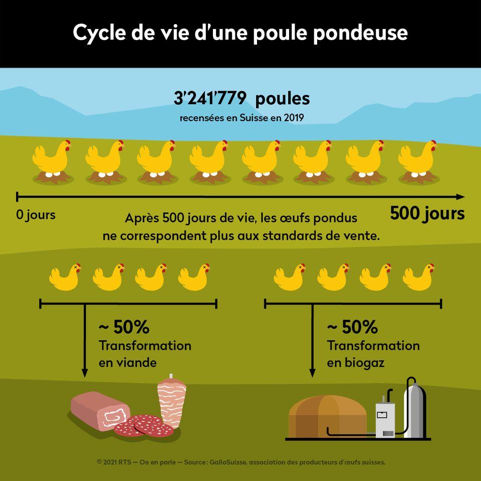 Cycle de vie d'une poule pondeuse en Suisse. [On en parle - RTS]