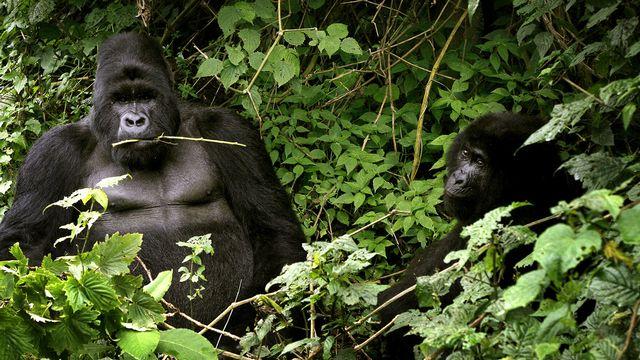 Deux gorilles, une espèce en danger critique d'extinction, ici au parc national des Virunga, à l'est du Congo. [Jerome Delay / AP - KEYSTONE]
