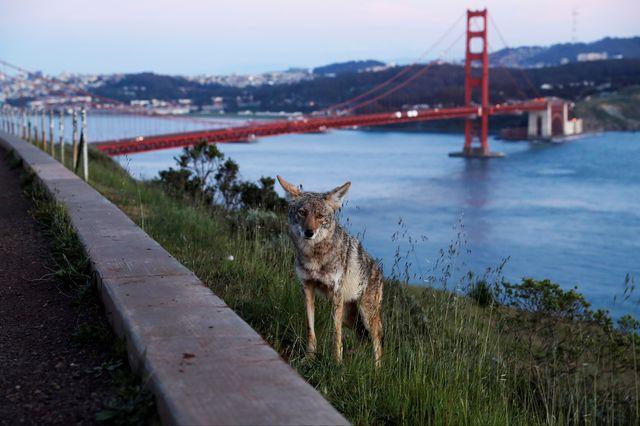 Certaines espèces se sont temporairement réapproprié les villes et leurs environs. [Shannon Stapleton - Reuters/File Photo]