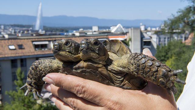 Janus, une tortue à deux têtes, est la mascotte du Muséum d'histoire naturelle de Genève. [Martial Trezzini - Keystone]