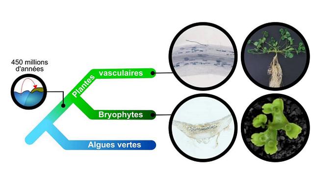 Arbre phylogénétique des plantes. Img avec CP CNRS Aurélie Le Ru/Mélanie Rich/Pierre-Marc Delaux CNRS [Aurélie Le Ru/Mélanie Rich/Pierre-Marc Delaux - CNRS]
