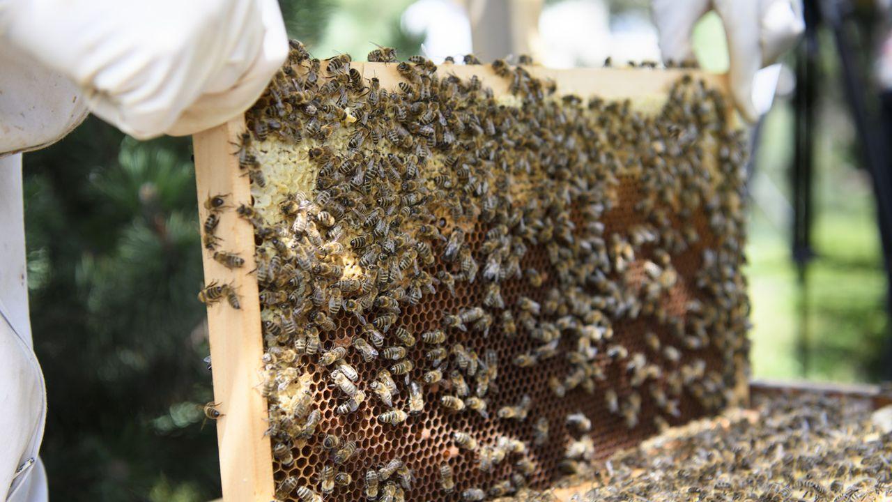 L'hiver 2020-2021 a été fatal à 14,2% des colonies d'abeilles. [Laurent Gillieron - Keystone]