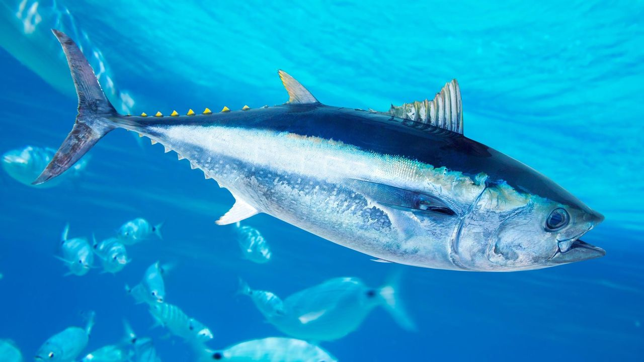 Victime de la surpêche, le thon rouge a vu sa population adulte baisser de 90% en Méditerranée. [lunamarina - Depositphotos]