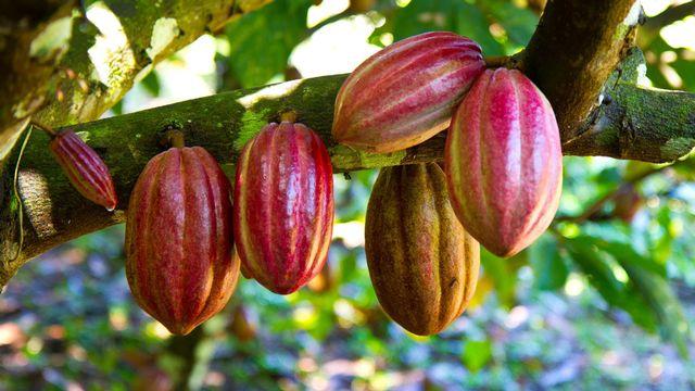 Cabosses de cacao [mojojo - Depositphotos]