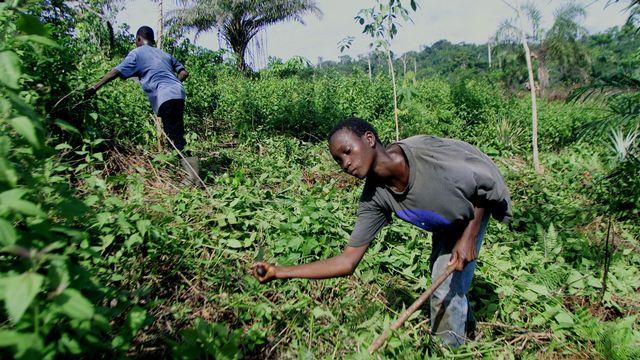 De nombreux enfants travaillent dans les plantations de cacao, notamment en Côte d'Ivoire. [Christine Nesbitt - Keystone/AP]