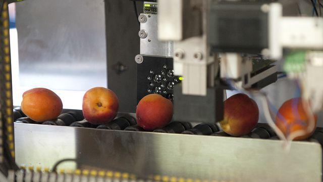 La récolte d'abricots du Valais est la pire des trente dernières années. [Anthony Anex - Keystone]