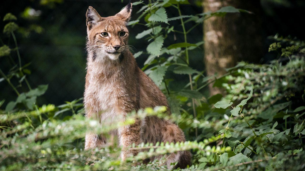 Le braconnage serait responsable de la faible densité de lynx en Valais. [Jean-Christophe Bott - Keystone]