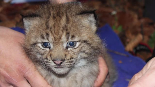 Le lynx: qui veut sa peau? [RTS]