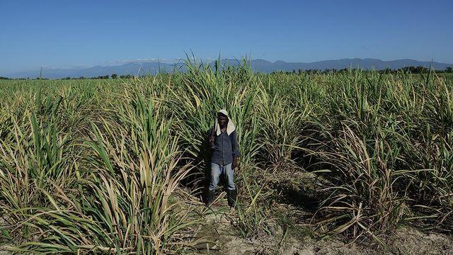 Un Haïtien d'origine dans un champ de cannes à sucre. [Jean-Claude Gerez - RTSreligion]
