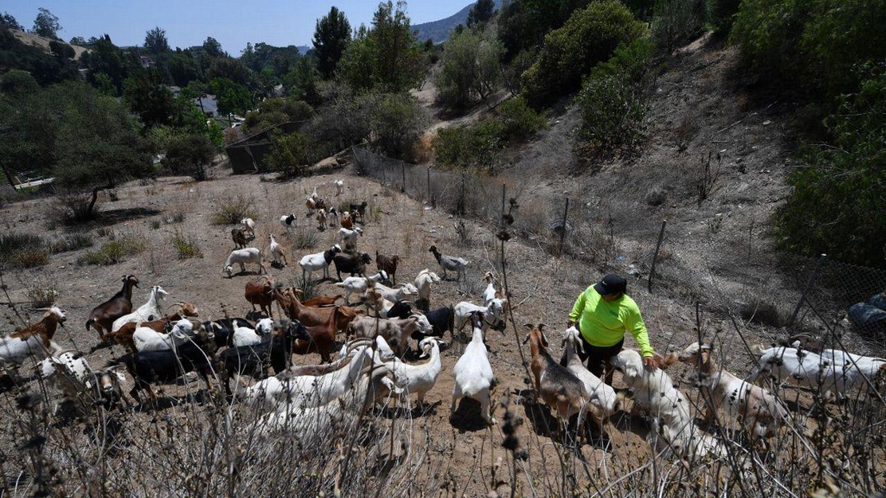 Des chèvres, improbables alliées des pompiers en Californie. [Robyn Beck - AFP]