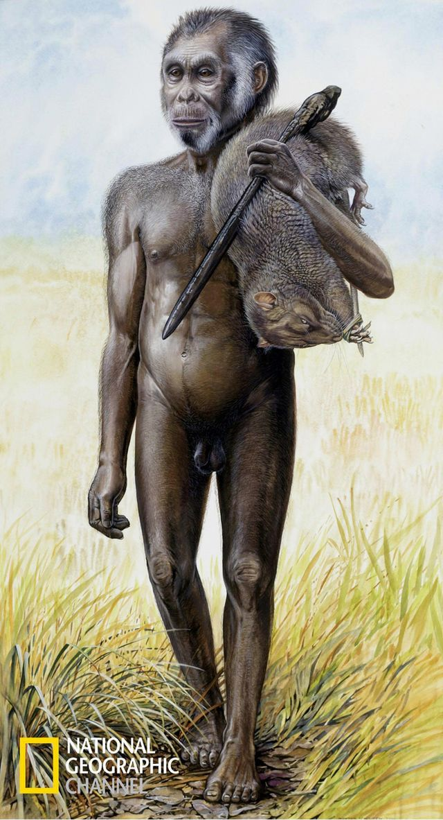 Homo floresiensis memiliki kapasitas tengkorak yang sangat kecil dan memiliki lengan dan kaki yang sangat panjang dibandingkan dengan manusia modern. [Peter Schouten/National Geographic - Keystone/AP photo]