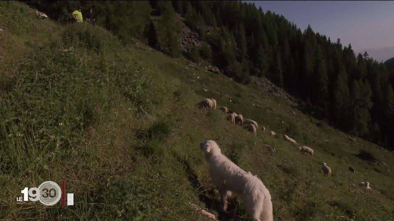 Le Valais donne l'autorisation d'abattre un loup qui a tué 14 moutons. La controverse entre pro- et anti-loup est ravivée [RTS]