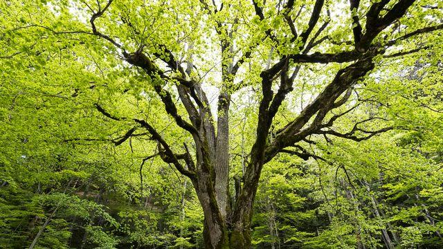 La réserve forestière du Bettlachstock (SO) contient des arbres âgés de plus de 170 ans. [Markus Bolliger - www.wsl.ch]