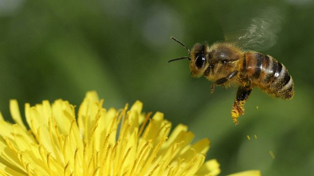 Une abeille. [Lisa Maire - KEYSTONE]