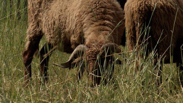 Moutons, tondeuses écolos ! [RTS]