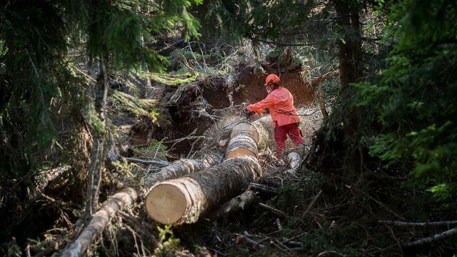La sylviculture peut augmenter la résilience des forêts d'épicéas et de sapins face aux sécheresses. Une équipe, dirigée par l'Institut fédéral suisse de recherches sur la forêt, la neige et le paysage (WSL), propose des pistes dans la revue Global Change Biology. [GABRIELE PUTZU - KEYSTONE/TI-PRESS]