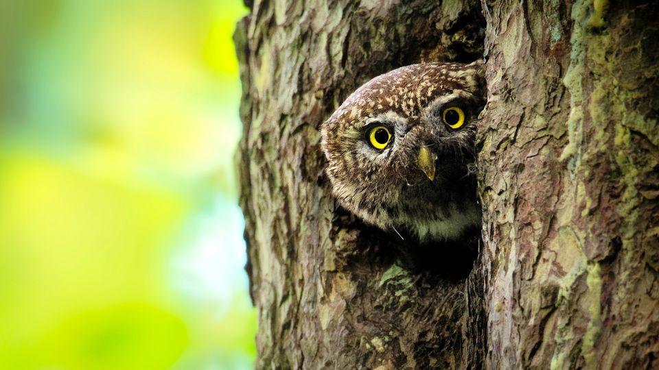 Nos amis sauvages, épisode 1: La chouette, un œil sur la forêt. [phototrip.cz  - stock.adobe.com]
