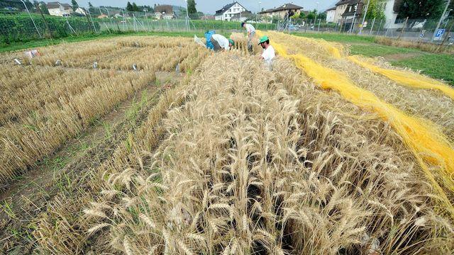 Des chercheurs et chercheuses de l'Agroscope récoltant du blé OGM cultivé à titre expérimental à Pully en 2009. [Dominic Favre - Keystone]