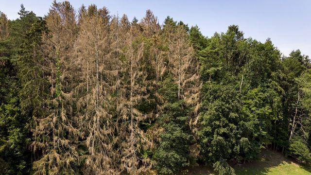 Un arbre attaqué par le bostryche peut dépérir en deux à trois semaines. [Laurent Gillieron - Keystone]