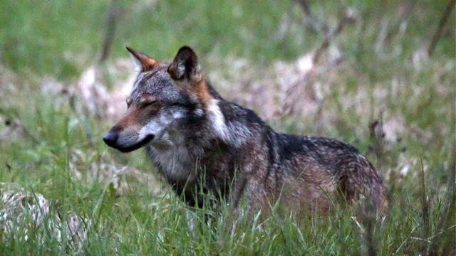 La présence du loup, objet de controverses en Suisse.  [Marco Schmidt - Keystone]