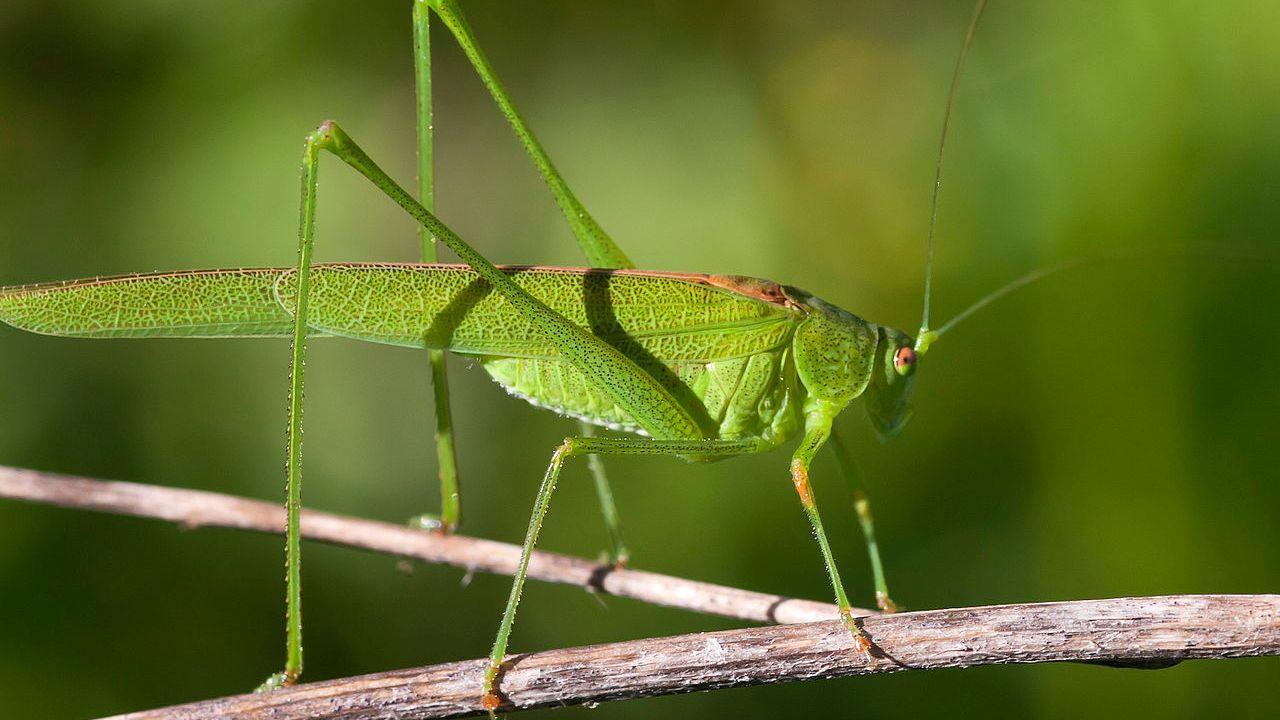 Un Phanéroptère commun, ou sauterelle verte. [Juan_e - https://www.flickr.com/photos/juan_e/5419125292/]