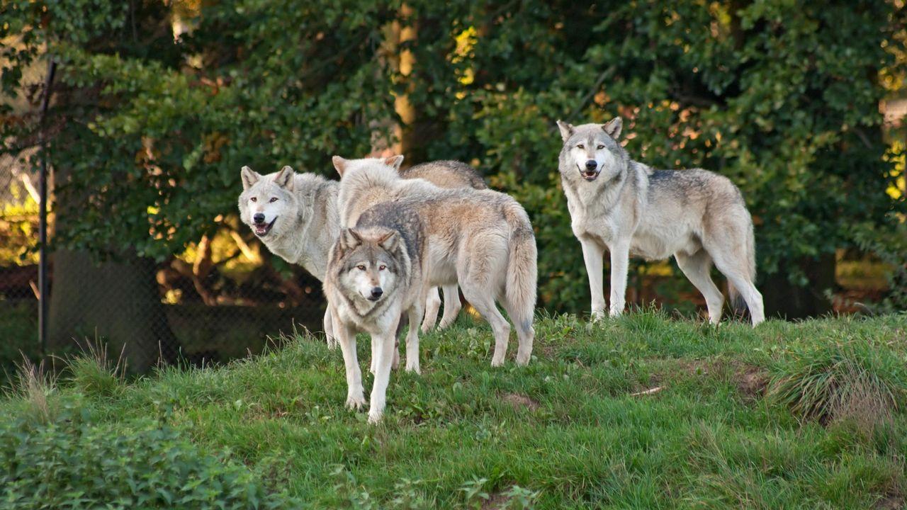 Meute de loups [Meoita - Depositphotos]