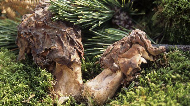 """Le gyromitre, ici l'espèce """"Gyromitra infula"""" ou Gyromitre en turban, peut être confondu avec la morille par les amateurs, mais contient une toxine dangereuse. [AFP]"""