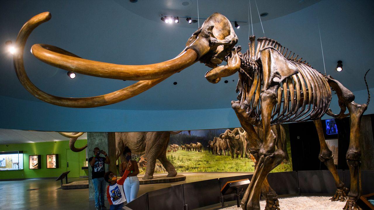 Fin de confinement aux musées pour les mammouths? L'entreprise Colossal y croit, en voulant leur redonner la vie.  [PATRICK T. FALLON - AFP]