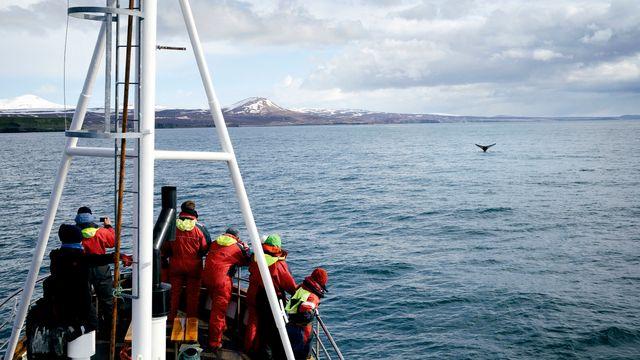 Au large de la côte nord de l'Islande, prendre un bateau pour tenter de voir les baleines est une activité très répandue. Une mission scientifique collecte le souffle de cétacés pour évaluer leur niveau de stress au passage des navires d'observation.  [GARCIA JULIEN - HEMIS VIA AFP]