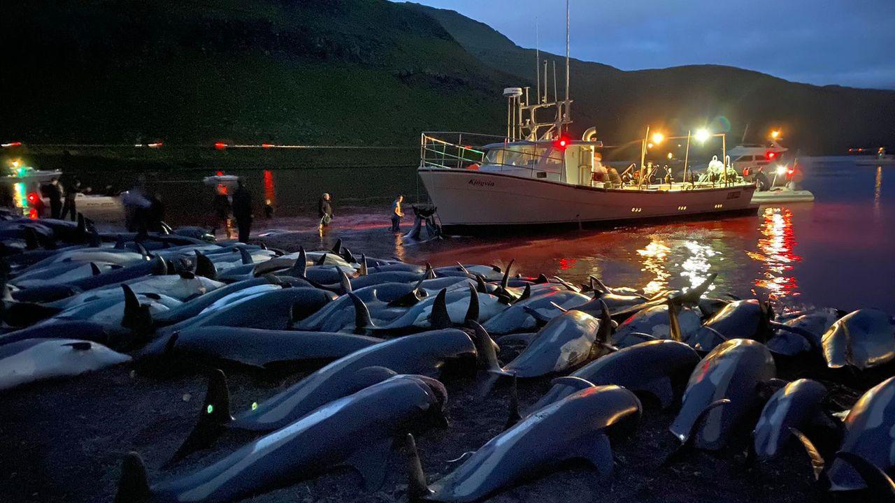Aux îles Feroé, émotion après la mise à mort de 1400 dauphins en une journée. [Sea Shepherd - Keystone]