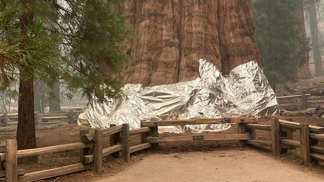 """Le séquoia """"Général Sherman"""" est emballé dans des feuilles d'aluminium, posées par les pompiers californiens. [National Park Service - AFP]"""