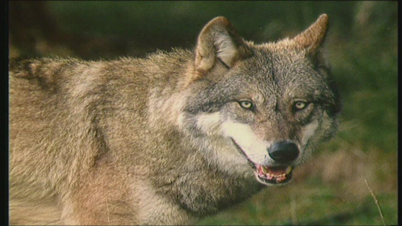 Quand on parle du loup avec Michel Pastoureau [RTS]